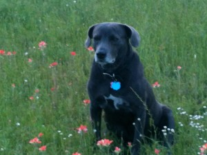 """Dixie """"Doodle Bug"""" in the Indian Paintbrush, Spring 2013"""